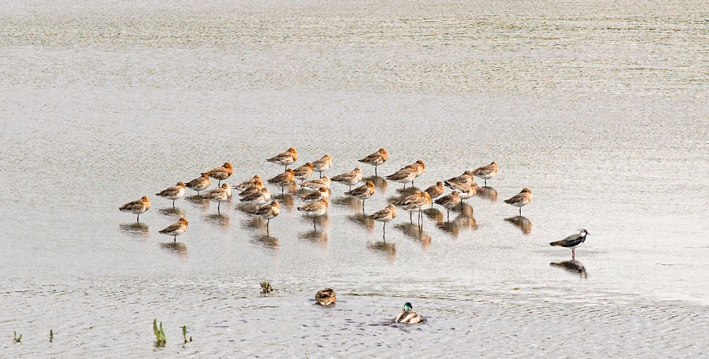 Lapwing amongst the godwits