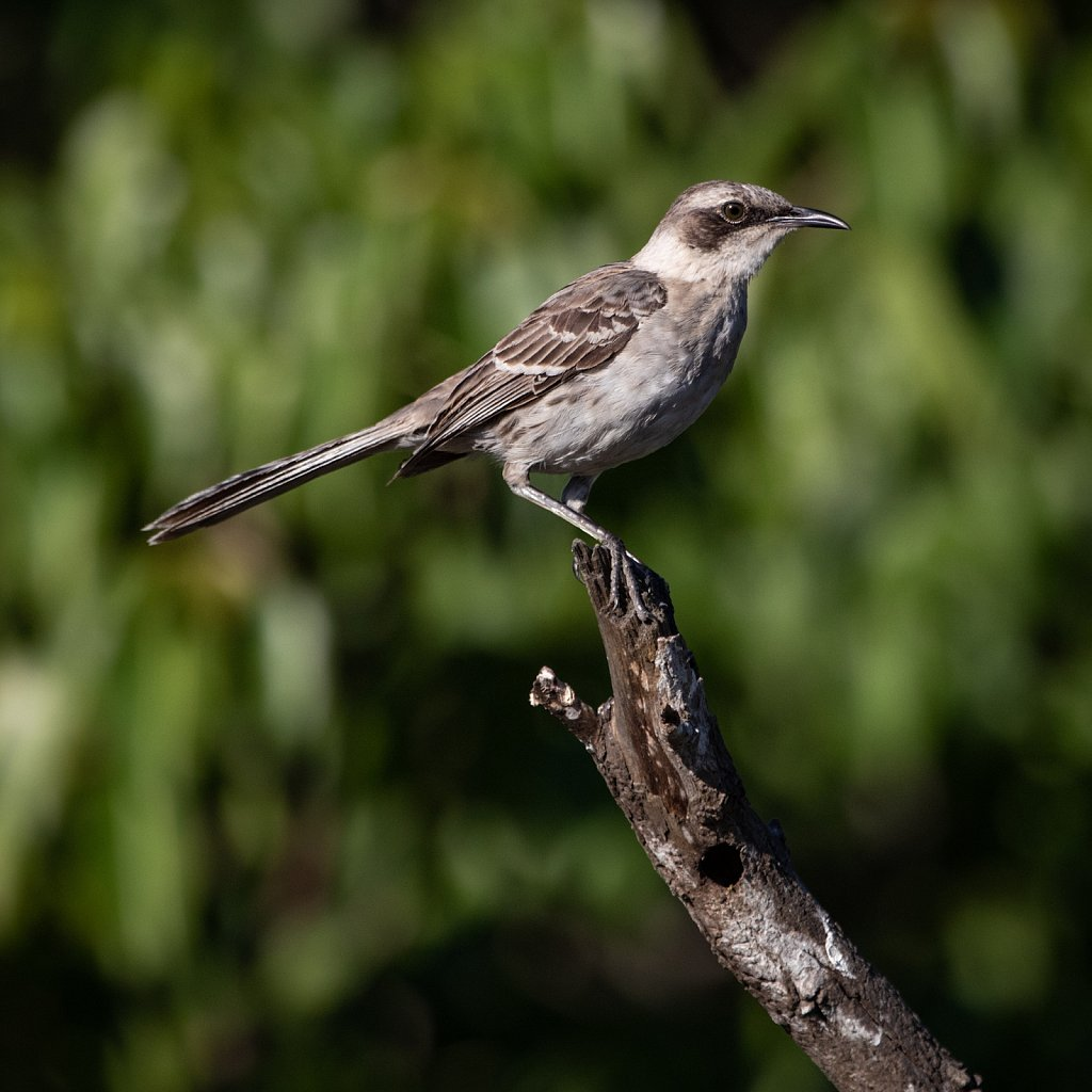 Galapagos mocking bird