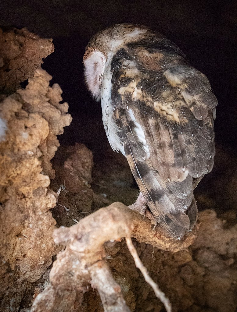 Galapagos barn owl in a lava cave