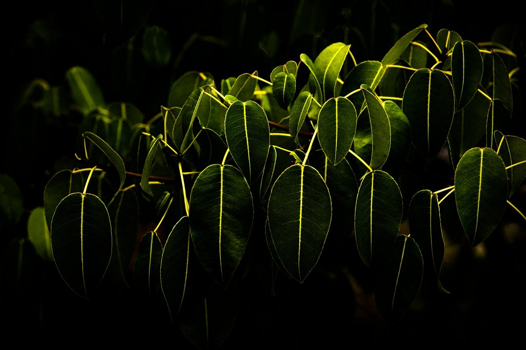 Mangrove leaves