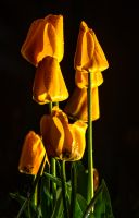 Night-tulips-MGL6679-1-2048