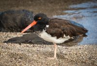 American-oyster-catcher-MGL2645-1-2048