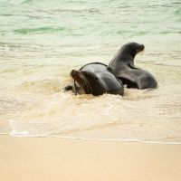 Sea-lions-frolicking-in-the-waves-MGL8972-1-2048