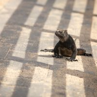 Marine-iguana-in-the-shadow-of-civilisation-MGL3081-1-2048