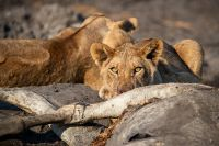 Lioness-with-kill-IMGL0749-1-2048