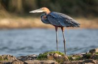 Goliath-heron-on-the-Zambeze-river-IMGL9337-1-2048