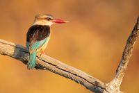 Grey-headed-kingfisher-IMGL0200-1-2048