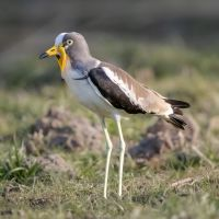 Wattled-plover-IMGL0068-1-2048