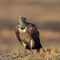 White-backed-vulture-MGL2957-1-2048