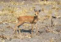 The-solitary-Steenbok-MGL2568-1-2048