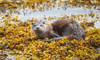 Young-wild-otter-in-seaweed-IMGL6642-1-2048