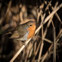 And-another-robin-IMGL8511-1-2048