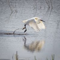 Little-egret-with-a-picnic-lunch