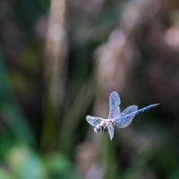 Dragonfly-by-MGL7383-1-2048
