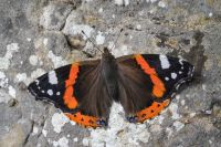 Red-admiral-MGL6000-1-2048