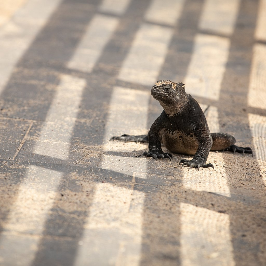 Marine iguana in the shadow of civilisation